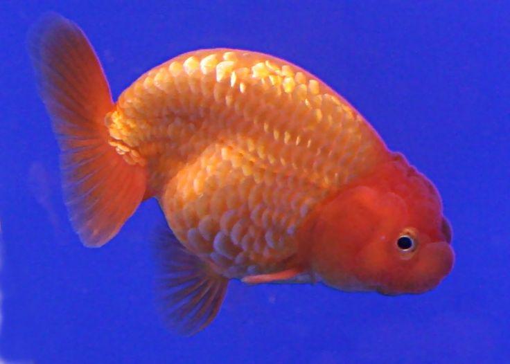 pregnant-goldfish