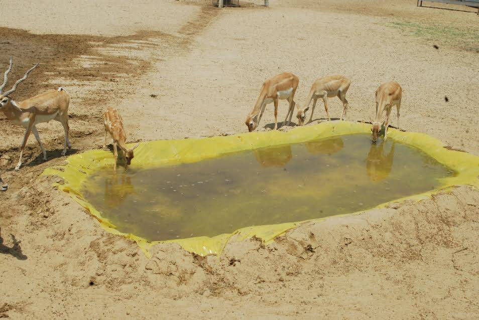 deer saved by rajasthan people