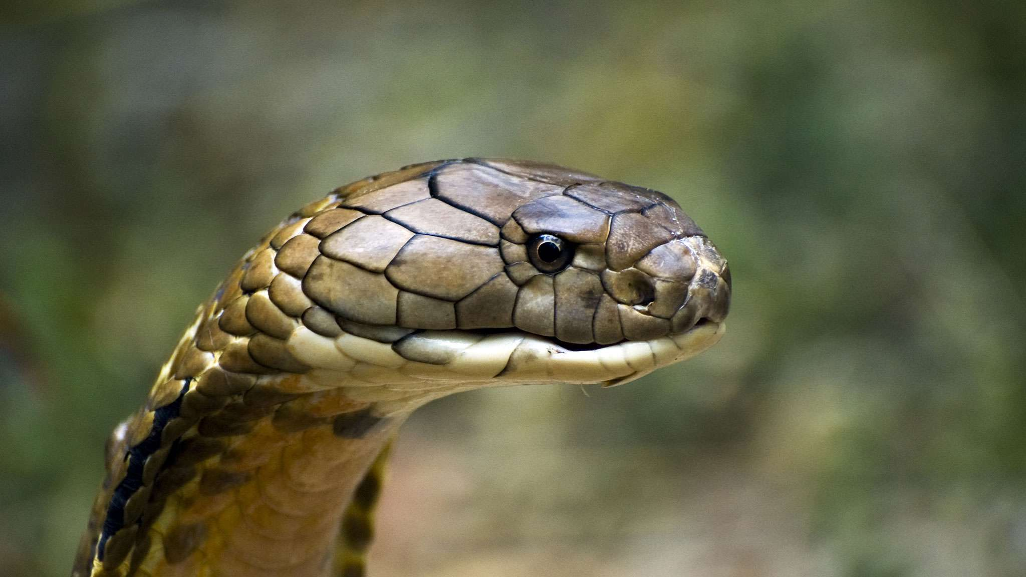 King Cobra VS Black Mambas Find Out Who is more venomous ...